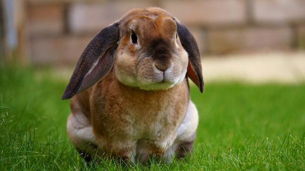 Doskonałe zdrowie królika dzięki sprawdzonym ziołom