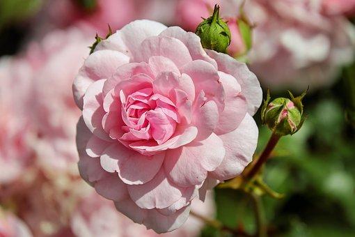 Róże i ich uprawa